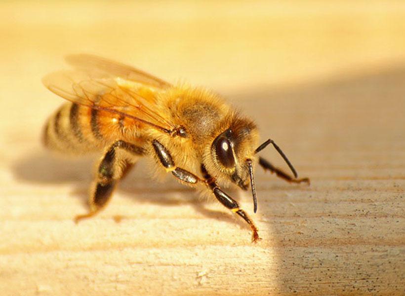 Lebah Dinobatkan Jadi Hewan Terpenting di Bumi