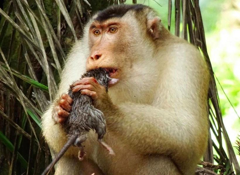 Ilmuwan Bingung Lihat Monyet Doyan Tikus