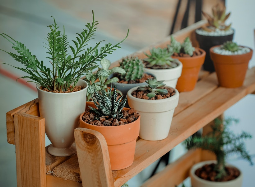 Tak Hanya di Luar, Kaktus Juga Bermanfaat di dalam Ruangan