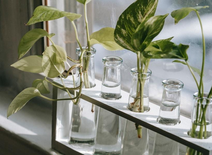 Contoh Tanaman yang Bisa Pakai Media Water Propagation