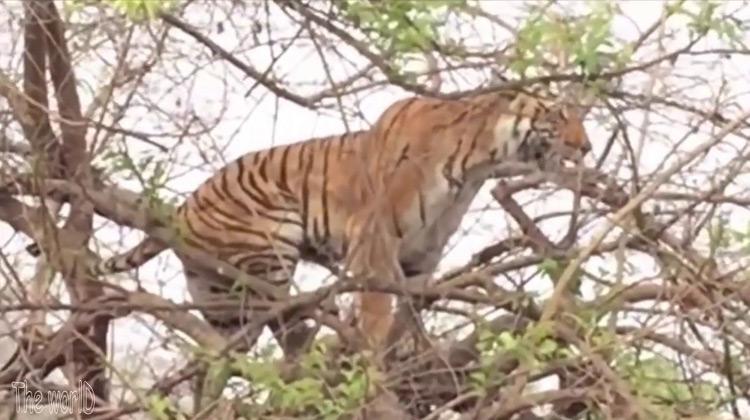 Show Moment - Seekor Macan Berburu Kera Hingga di Atas Pohon