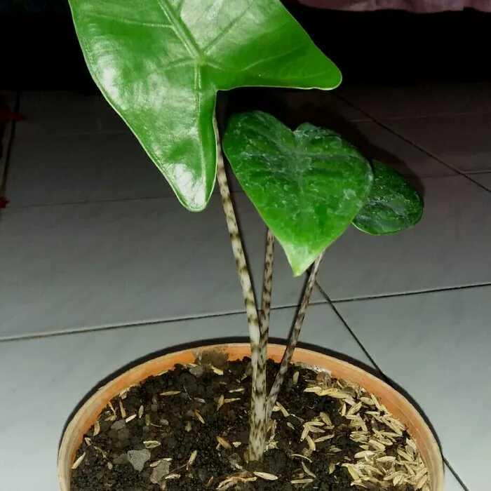 Padil - Tanaman hutan kalimantan jenis alocasia reginae yang lagi viral viral nya