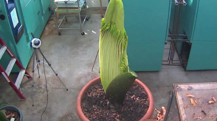 Show Moment - Perry the Corpse Flower Full Bloom Cycle